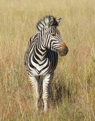 Zebra in Southafrica