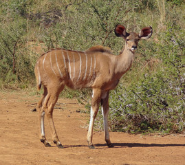 Antelope in South Africa