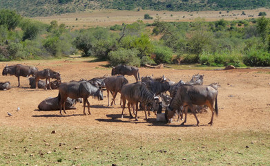 Wildebeests in South Africa