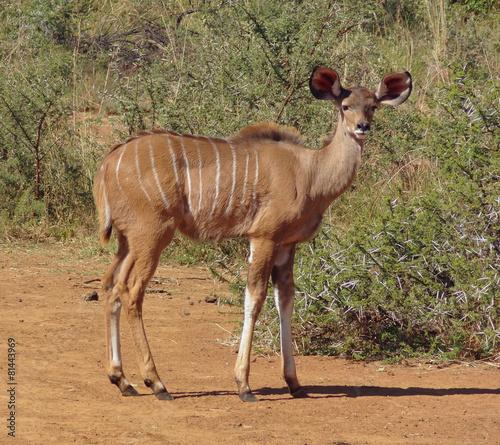 In de dag Antilope Antelope in South Africa