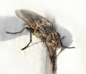 Housefly digging for food macro closeup