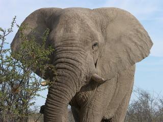 Elefant warnend