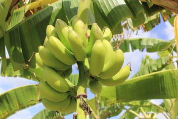 Jeunes bananes
