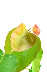 green leaf vein  bodhi leaf  on white background