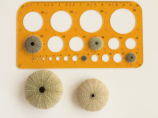 Sea urchin and template