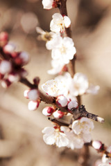 flowering fruit tree branches
