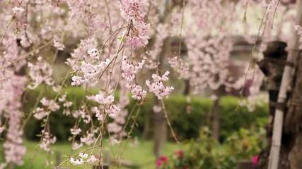 風にゆれるしだれ桜