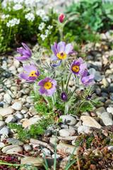 Stone garden with pasque flower