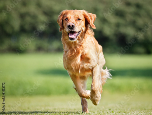 Leinwandbild Motiv Golden retriever dog