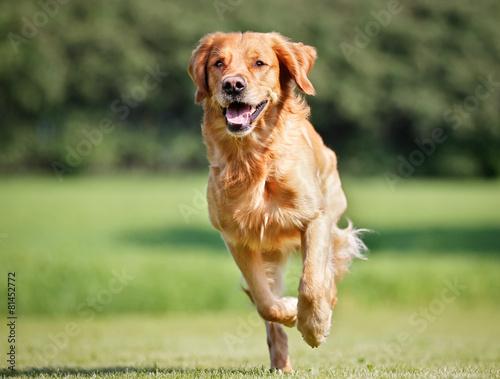 Golden retriever dog - 81452772
