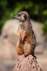 merkat suricata sitting and watching some predator