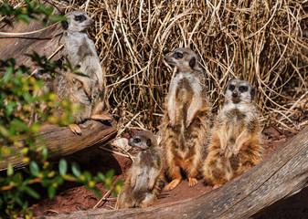 Group of baby meerkats