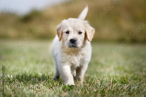 Poster, Tablou Walking golden retriever puppy
