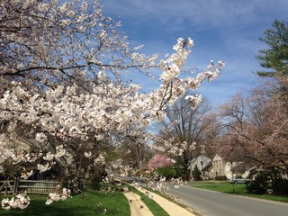 cherry blossoms in the DC area