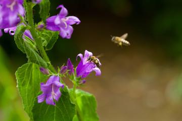 bell flower - lila Glockenblume mit Biene