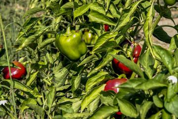 Grüne und rote Paprika