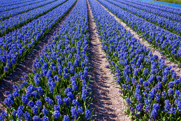 hyacinths in a dutch bulb field