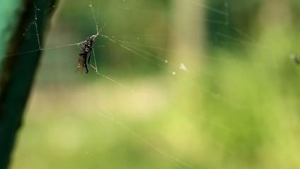 Mouche piège toile d'araignée