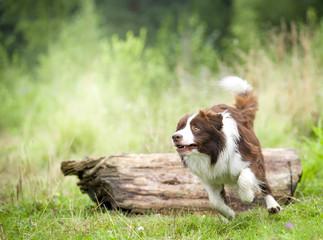 border collie runs