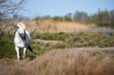 Fototapeta White horse of Camargue