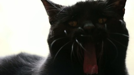 Adult Black Cat Yawning