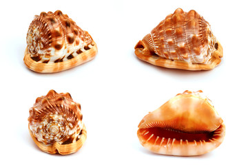 Seashell isolated on white background in many different angles