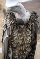 specimen of griffon vulture, Gyps fulvus