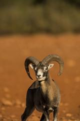 Mouflon (Ovis musimon) Sierra de Mariola, Alicante, Spain