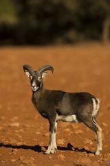 Mouflon (Ovis musimon) Sierra de Mariola Alicante , Spain