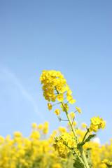 菜の花、青空に向かって