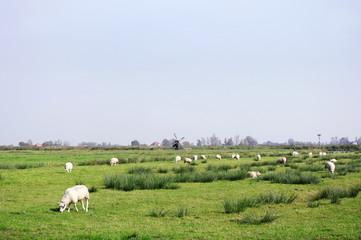 水車のある草原の羊