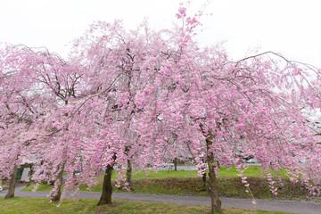 桜(紅しだれ桜)