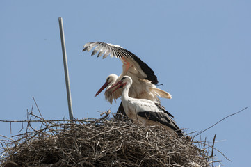 Pair of White stork, Ciconia ciconia on the nest