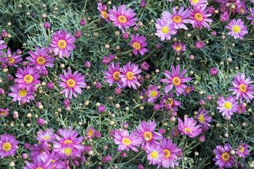 piccole margherite viola