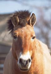 Przewalski's horse (Mongolian wild horse)