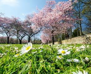 Japanische Kirschblüten und Gänseblümchen vor alter Mauer :)