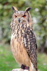 An indian rock eagle-owl, Bubo bengalensis
