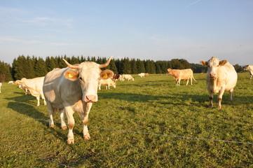 Kuhweide im Thüringer Wald
