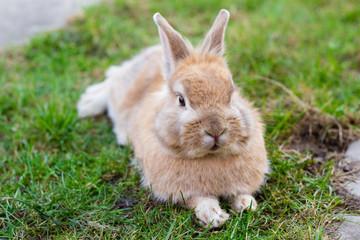 small brown bunny on green grass in summer garden