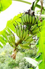 Stem of green bananas on banana tree.