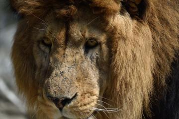 Sguardo di leone