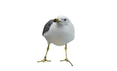 чайка на белом фоне