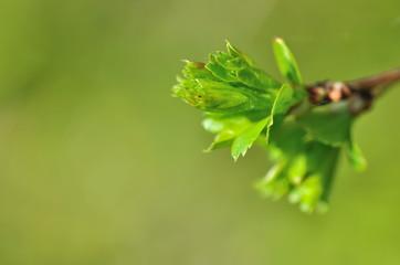 éclosion d'un bourgeon en feuilles