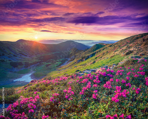 pink rhododendron flowers in the mountains at sunrise - 81487964