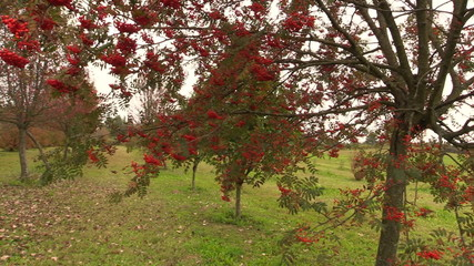 rowan tree with red berry on autumn time
