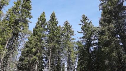 Top of pines in blue sky