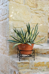 Αgave plant