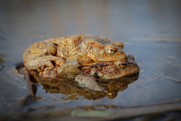 Common toads, mating season