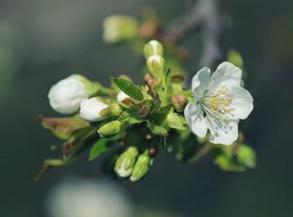 Spring cherry buds