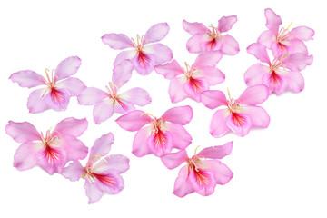 bauhinia flowers
